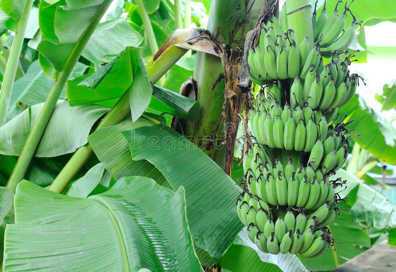 Download Banana tree stock photo. Image of park, bunch, meal, agriculture - 19866426