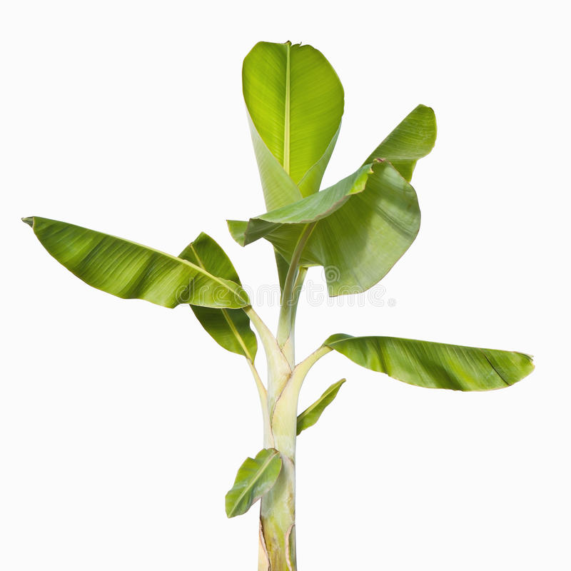 Banana tree stock image