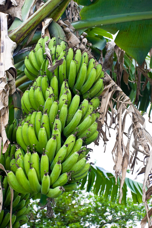 Banana tree. With a bunch of green bananas growing royalty free stock photo