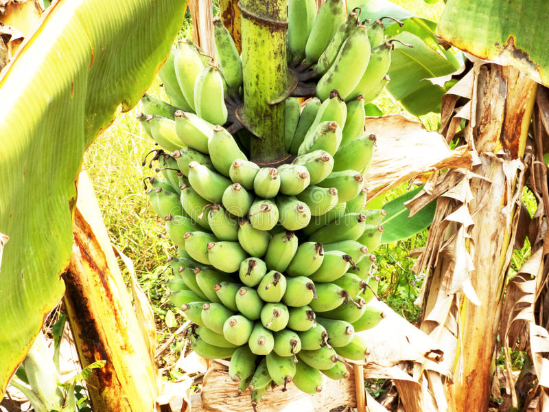 Download Banana tree stock photo. Image of banana, cultivation - 24110998