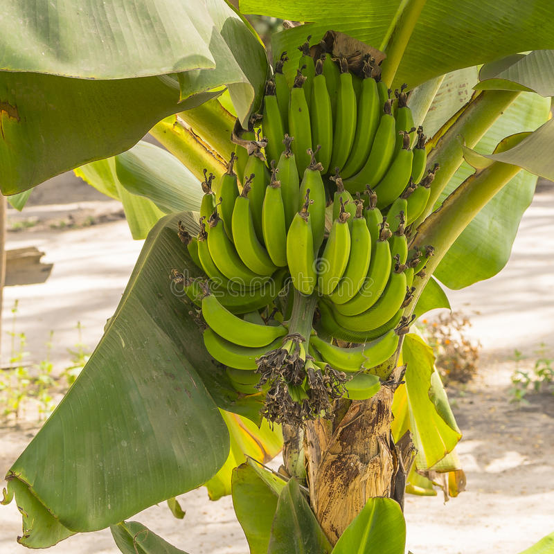Banana tree. With a bunch of green bananas growing. Gambia , West Africa royalty free stock photo