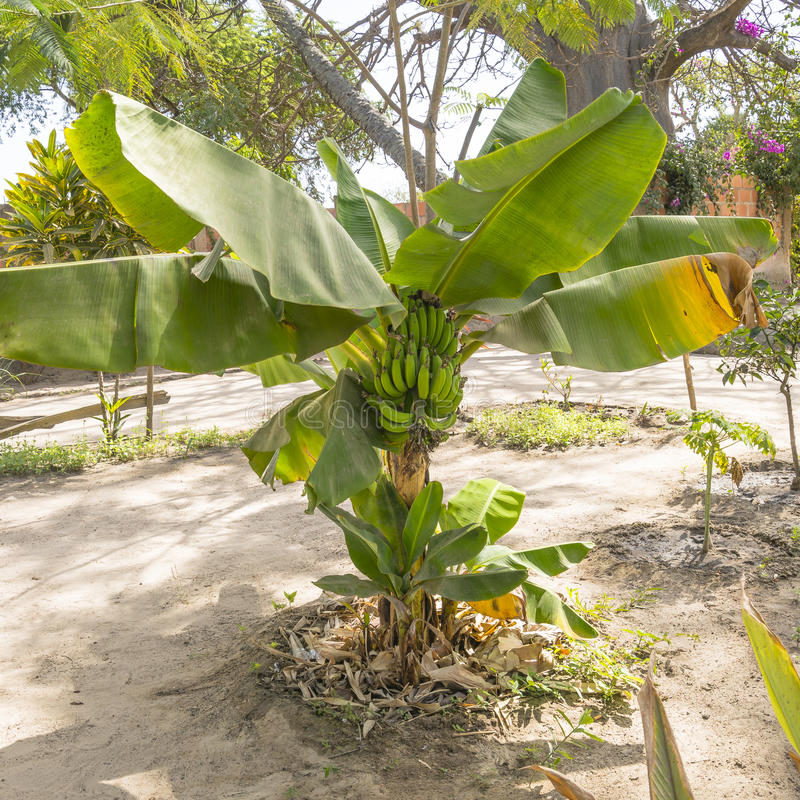 Banana tree. With a bunch of green bananas growing. Gambia , West Africa royalty free stock image
