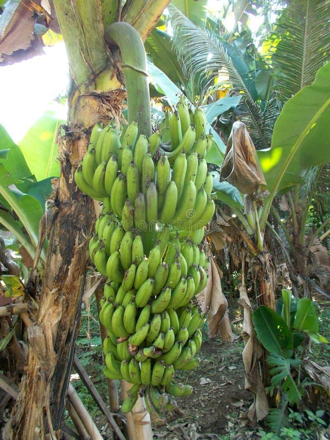 Free Banana Tree Royalty Free Stock Image - 99137376