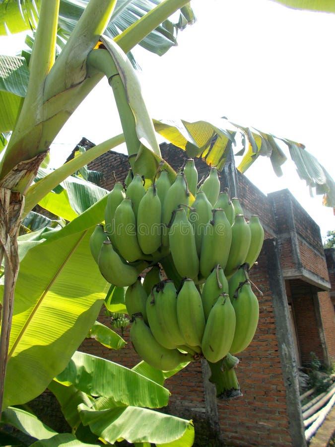 Free Banana Tree Stock Image - 99491241