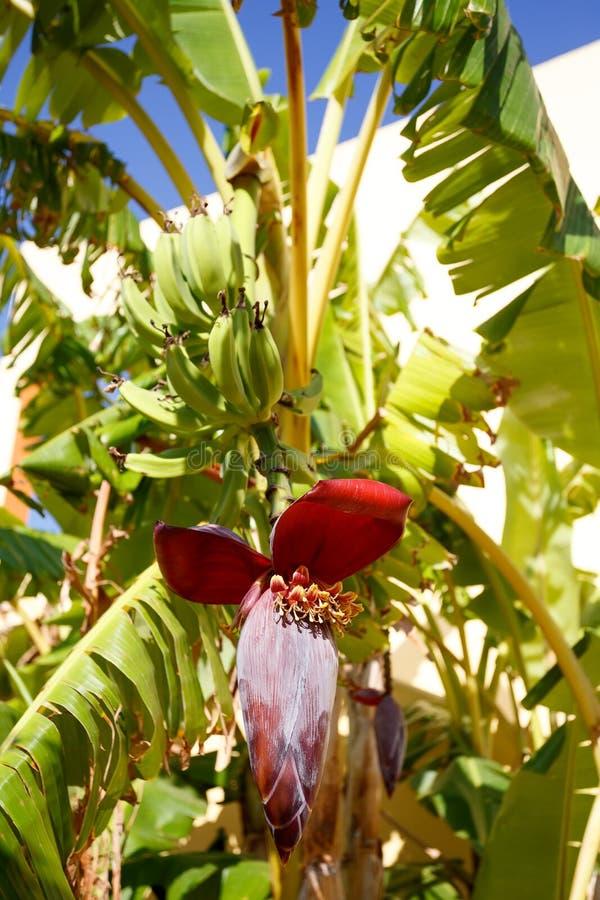 Banana tree with a blossom royalty free stock image