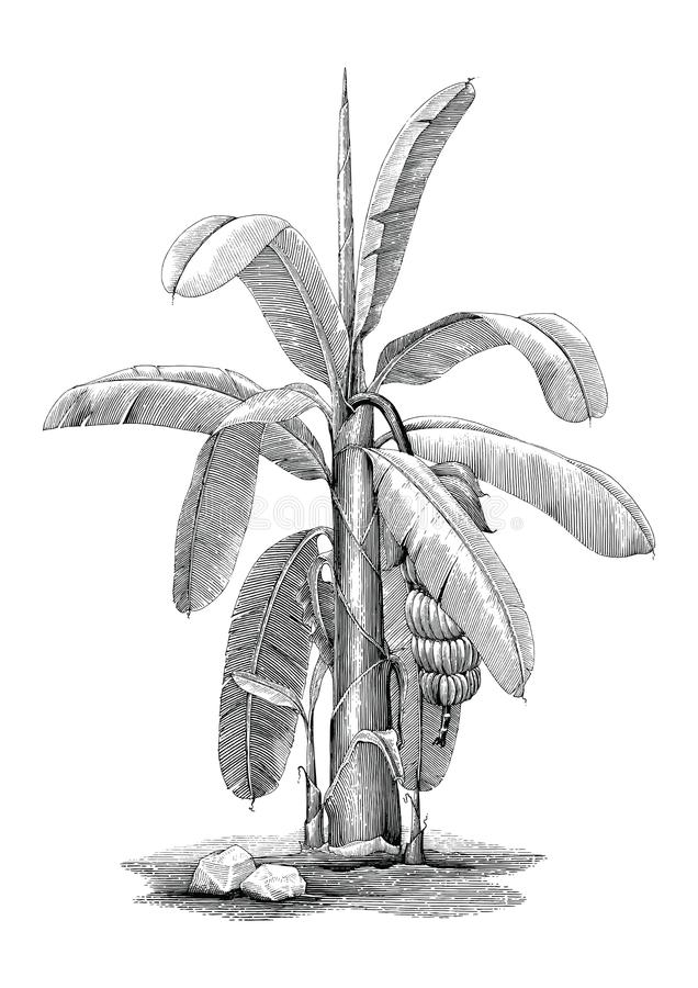 Free Banana Tree Botanical Hand Drawing Vintage Clip Art Stock Image - 118608881