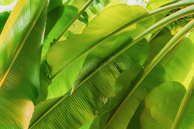 Banana tree branches, foliage, fresh exotic botanical pattern. Natural green tropical texture of bright green leaf royalty free stock photo