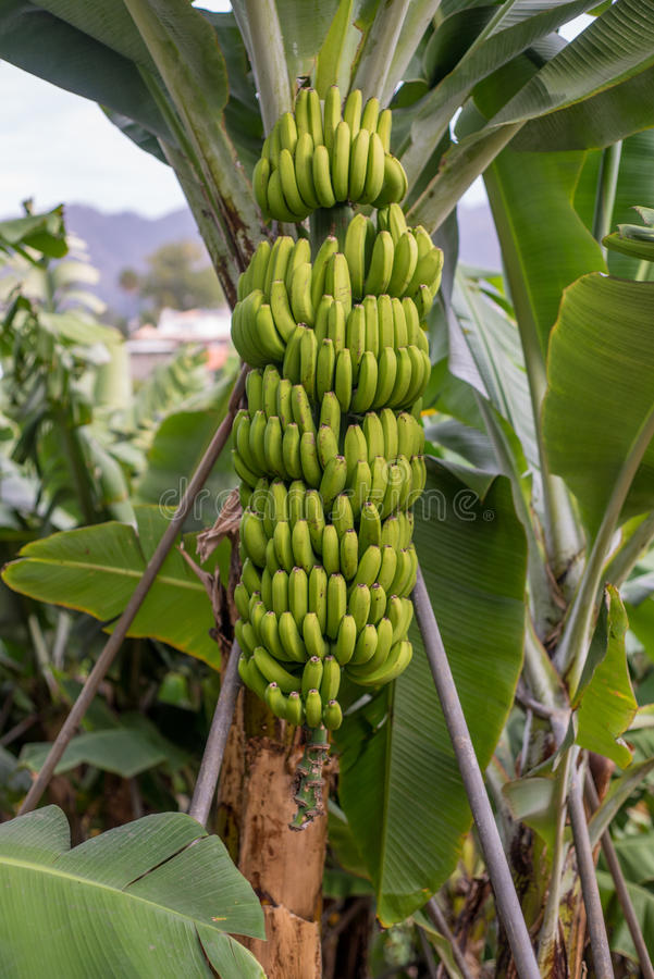 Green Banana tree with a bunch of bananas royalty free stock photos