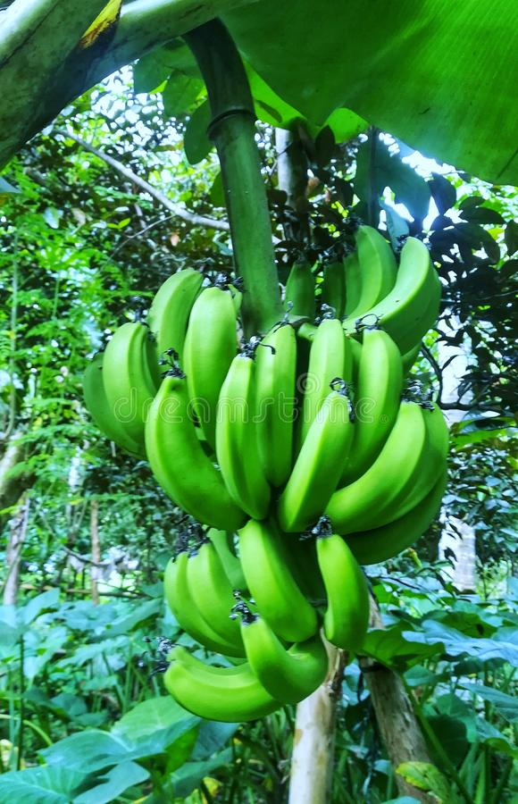 Banana Tree. The banana is an edible fruit – botanically a berry produced by several kinds of large herbaceous flowering plants in the genus Musa In some stock photography