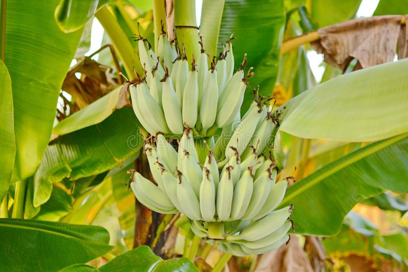 Banana tree. Banana flower. Banana leaf. Banana plant. Banana fruit.Tropical banana royalty free stock image