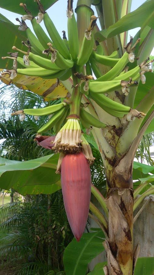 Banana tree royalty free stock photos