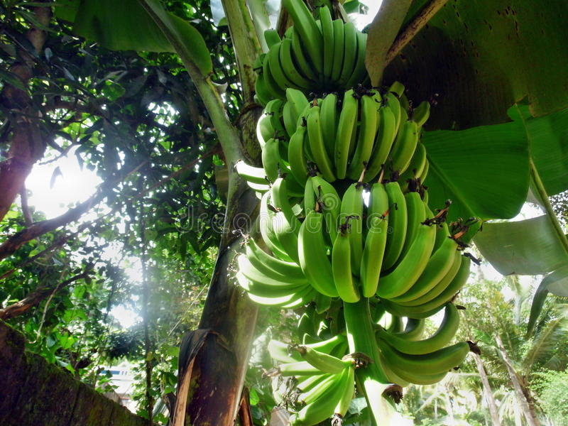 Banana tree with fruit royalty free stock images