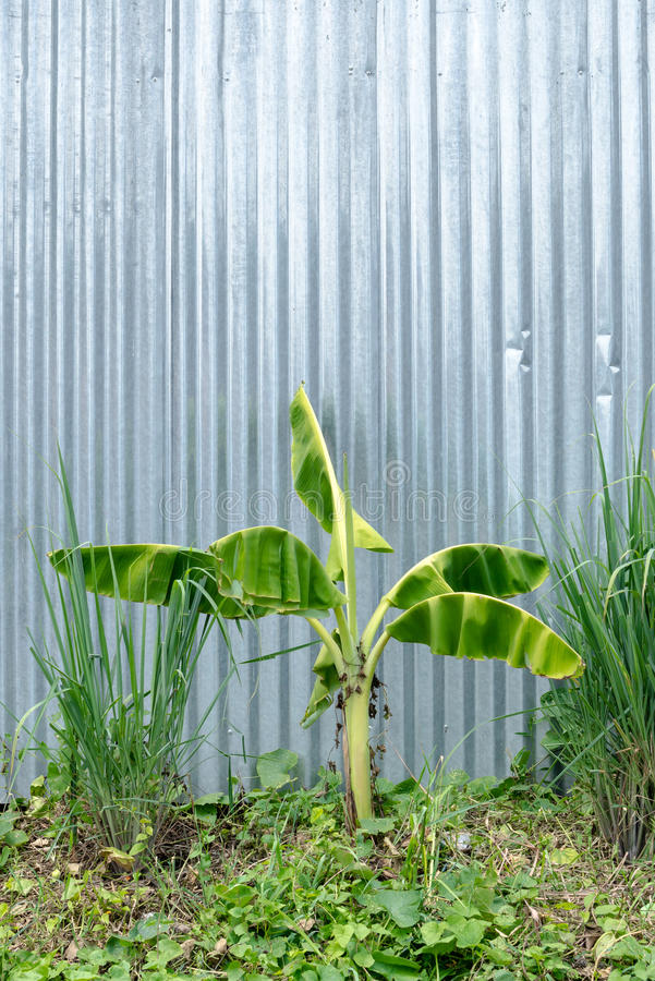 Banana tree with galvanised iron wall. Background royalty free stock images