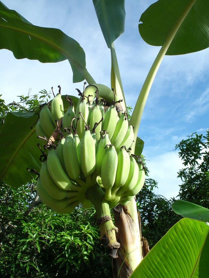 Banana tree. garden at Thailand royalty free stock photo