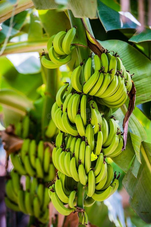 Banana on tree stock photography