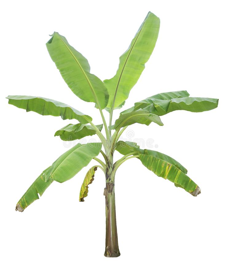 Banana tree isolated on white background. With clipping paths for garden design. Tropical economic crops that are easy to grow, yield fast stock images
