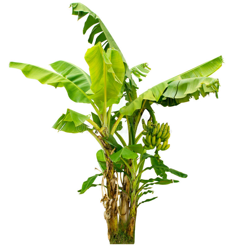 Download Banana Tree Isolated On White Background Stock Photo