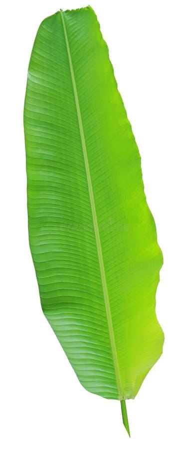 Banana tree and leaf stock photography