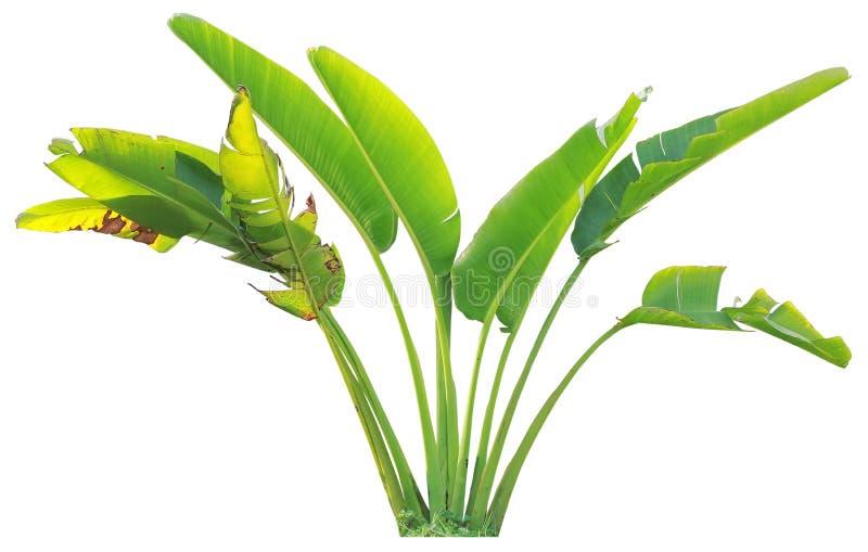 Banana tree and leaf royalty free stock photography