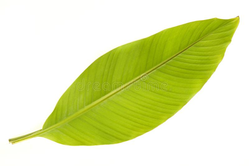 Banana tree leaf on a white background stock images