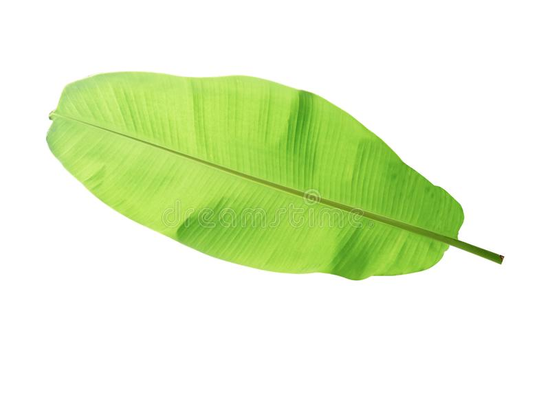 Banana tree leaf of tropical plant, vacation and relaxation concept. Small leaves greeting card design decoration backdrop idea, isolated royalty free stock photos