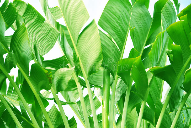 Banana tree leaves. In sky background royalty free stock image