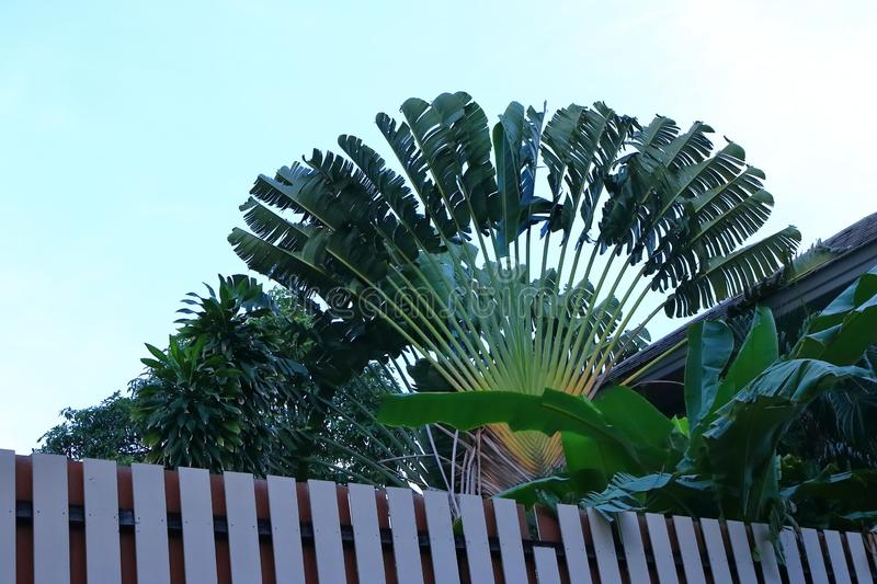 Banana tree leaves fan stock images