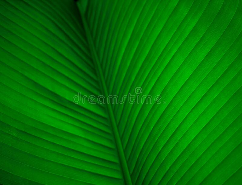 Banana tree leaves in macro photography . bright green leaf of banana tree. banana tree leaf veins background texture.  royalty free stock images
