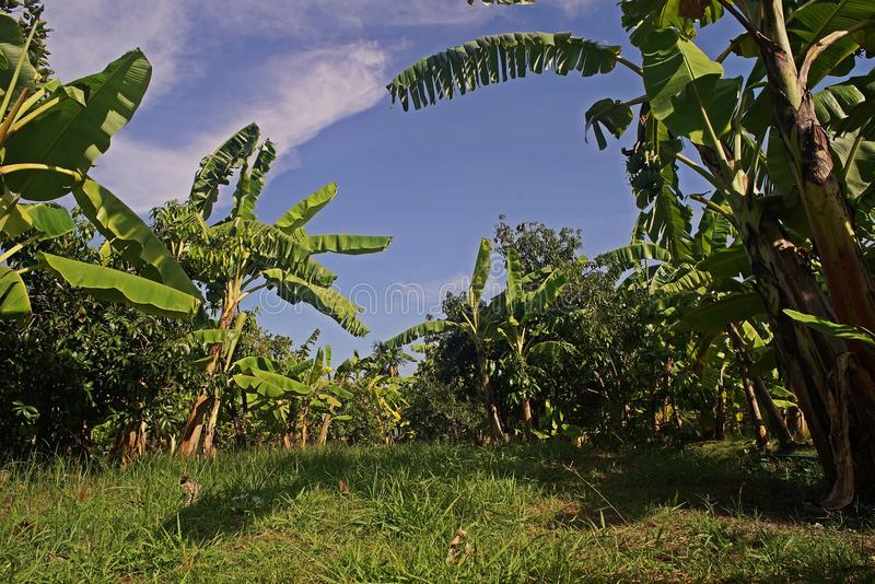 Banana tree in mixed crop system planting. Self sufficient economy, Thailand stock photos