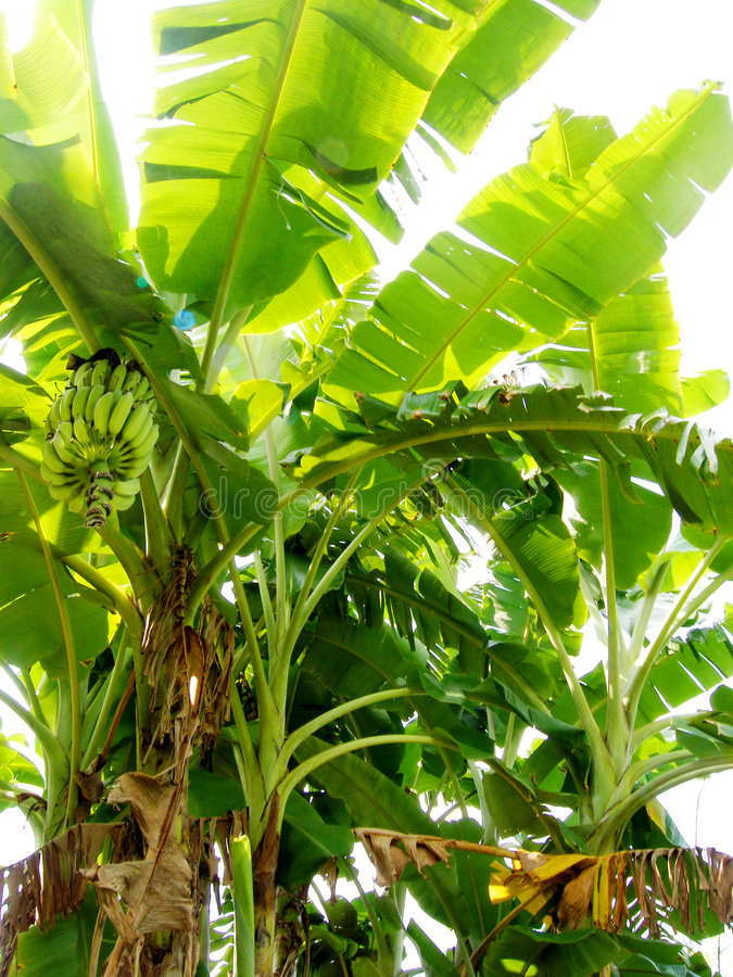 Banana tree organic plantation. A beautiful green banana tree with its emerald green fronds waving in the wind. With bright sunlight shining through the fronds royalty free stock images