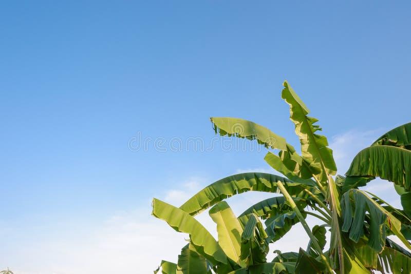 Banana tree plantation with blue sky background stock photos