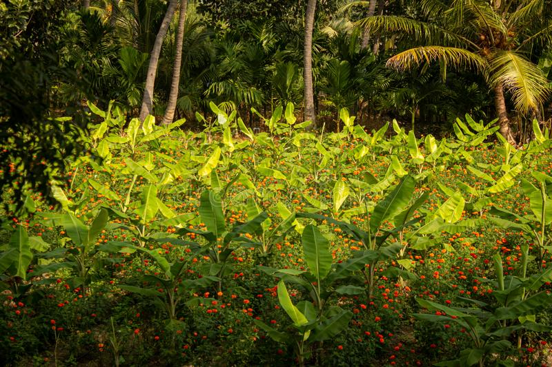 Banana tree plantation and the marigold flowers in-between in a farm near Gobichettipalayam, Tamil Nadu, India.  stock images