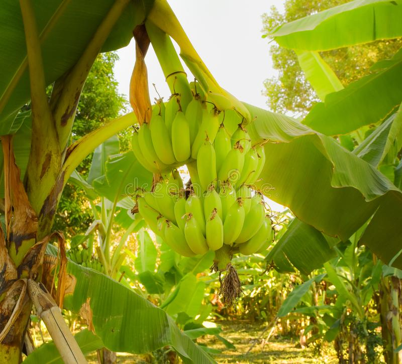 Banana garden. Banana tree and raw bananas ,local agriculture by sufficiency economy philosophy in the countryside of Thailand royalty free stock images