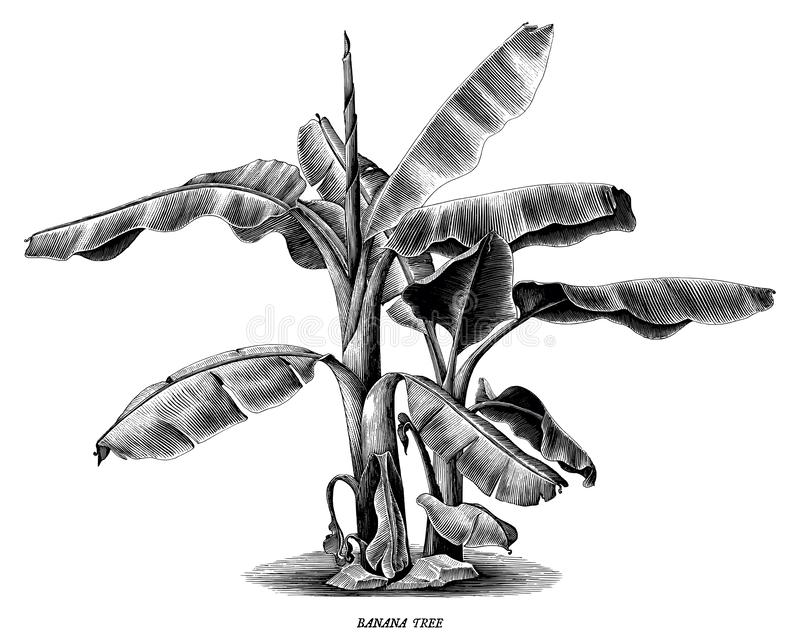Banana tree vintage hand draw engraving clip art isolated on white background stock illustration
