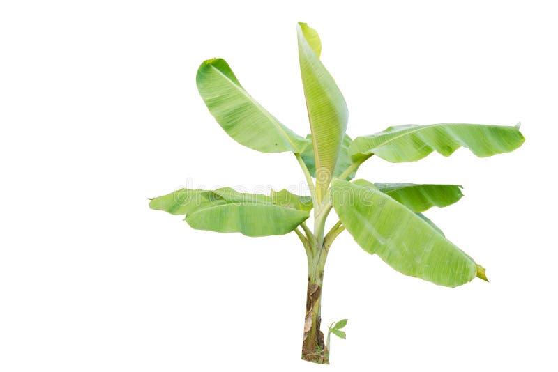 Banana tree stock photography