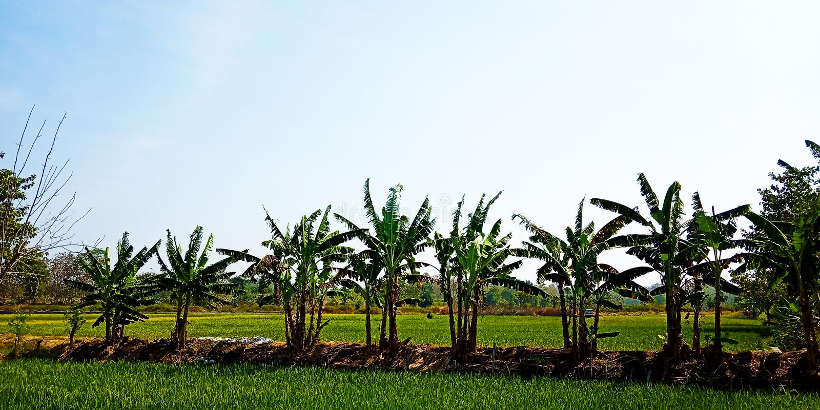 Banana trees on the edge of the rice fields stock photography