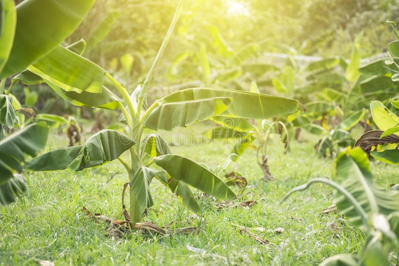 Banana trees on garden stock photos