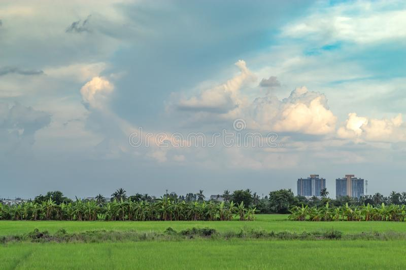 Banana trees are grown on rice and sky. Banana trees are grown on rice and sky , Thailand stock image