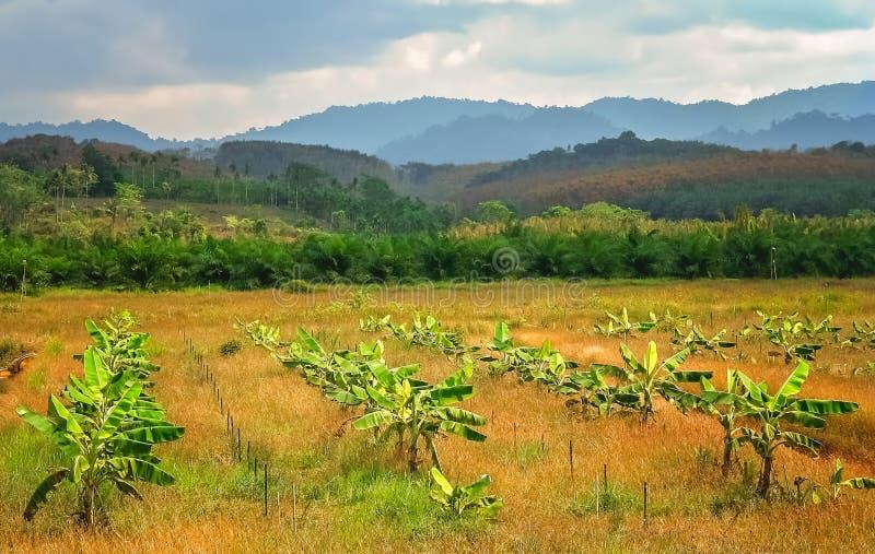 Banana trees plantation stock photography