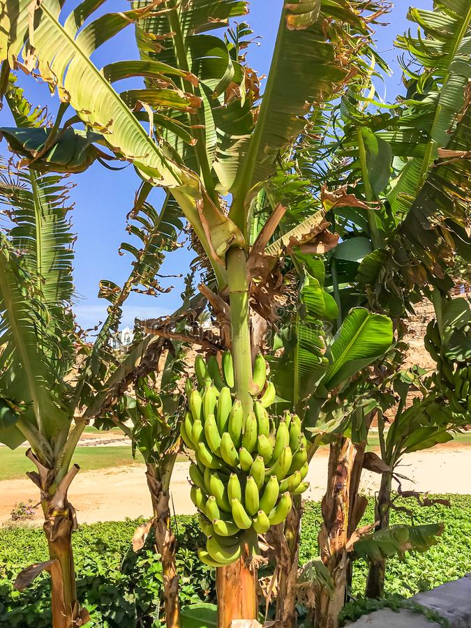 Banana trees at Praia de Chaves, Boa Vista stock image