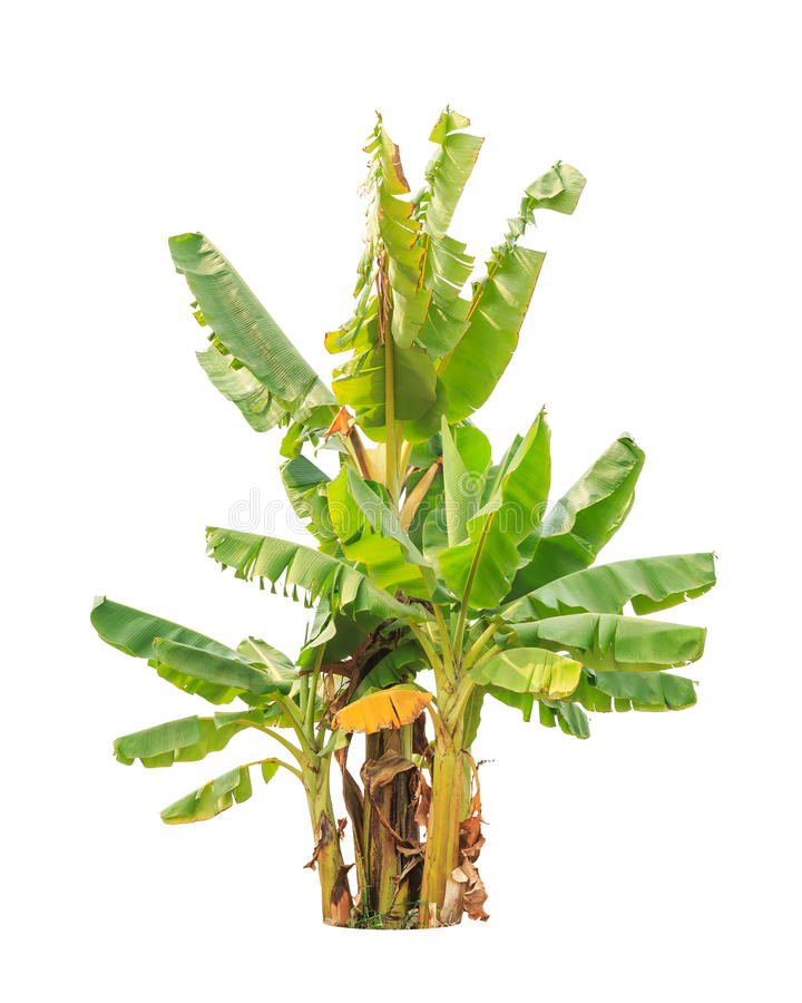 Banana trees, tropical tree isolated on white stock photo