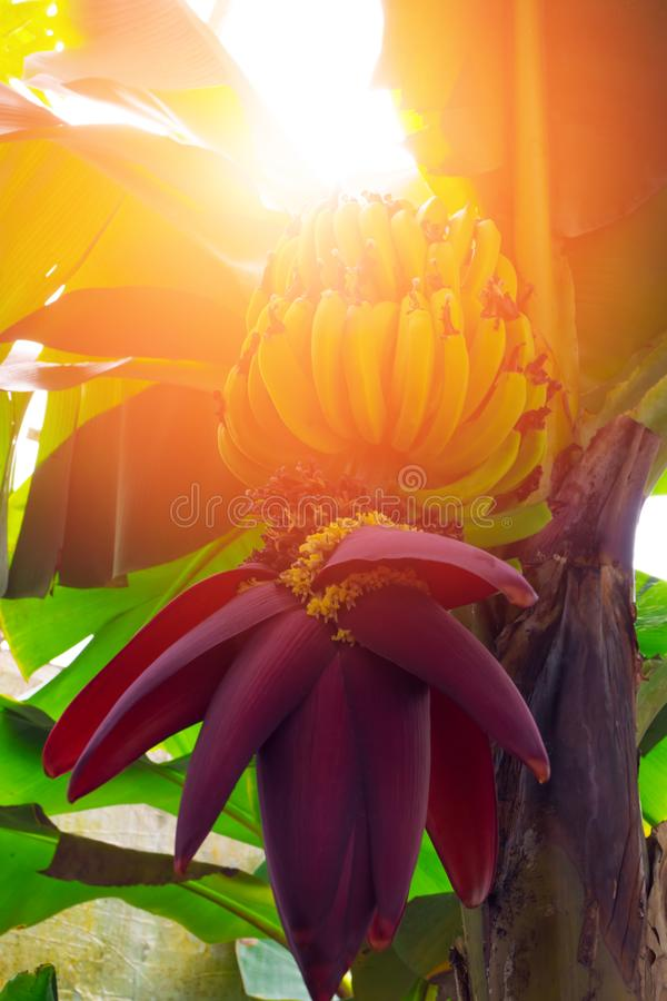 Free Banana Trees With Fruits And Flower Stock Images - 114180714