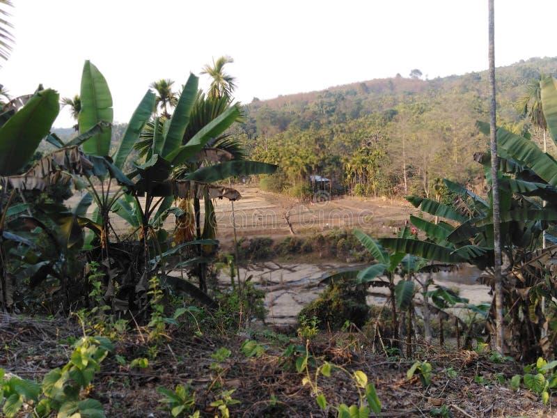 Banana, tress. You may see here so many natural photos like banana tress and river royalty free stock image