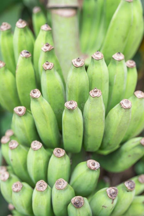 Banana verde fotos de stock