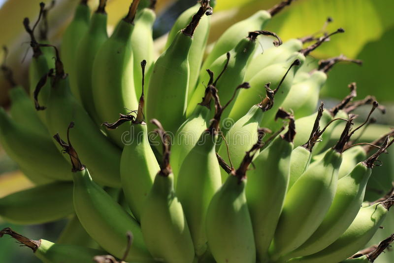 Banana verde (barlen) fotografia de stock