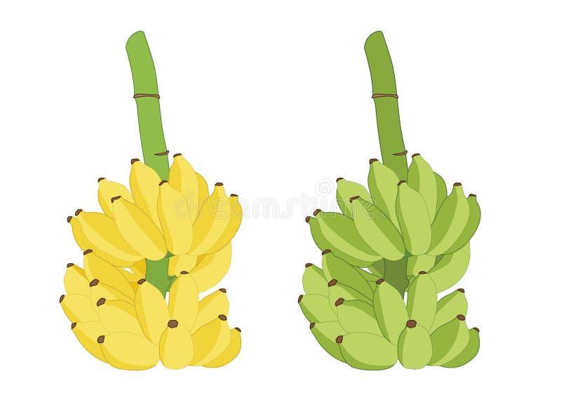 Banana verde da cor e bananas cruas ilustração royalty free