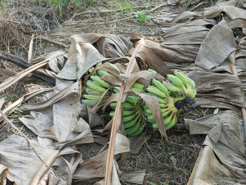 Banana verde na terra com a folha seca da banana foto de stock royalty free