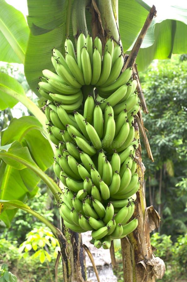 Banana verde su un albero in foresta. fotografia stock