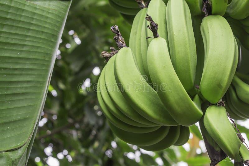 Banana verde sull'albero immagini stock libere da diritti