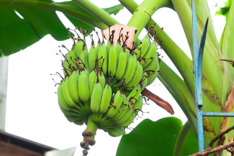 Banana verde sull'isolato dell'albero nel sumer sping fotografia stock